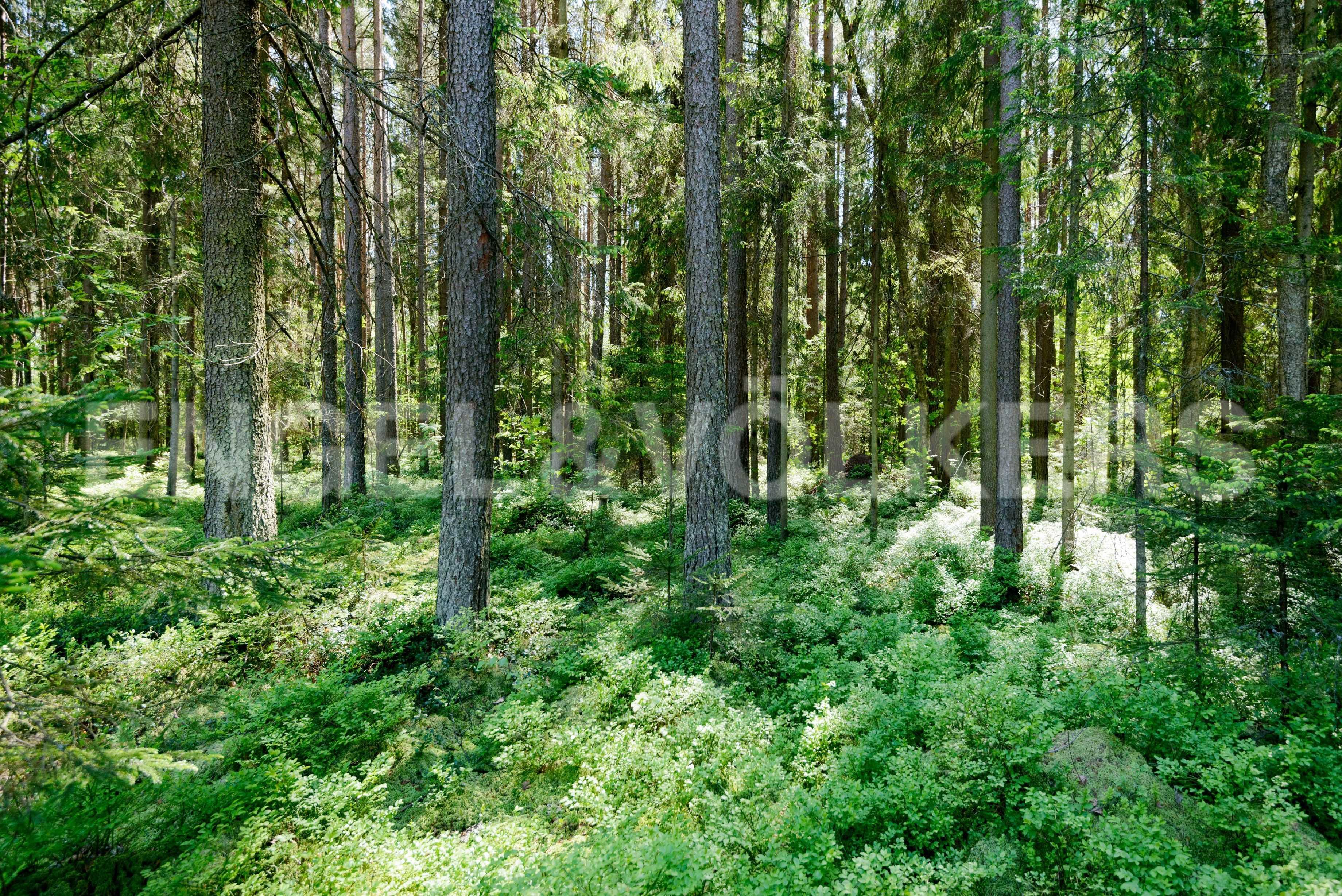 Элитные квартиры в Курортном районе. Санкт-Петербург, п. Комарово. Сосновый лес